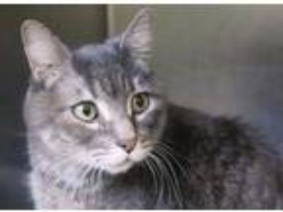 Adopt Draper a Gray or Blue Domestic Shorthair / Domestic Shorthair / Mixed cat