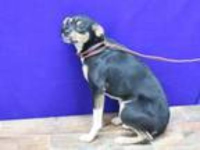 Adopt Roxie a Black - with Tan, Yellow or Fawn Dachshund / Mixed dog in Herndon