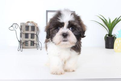 Shih Tzu PUPPY FOR SALE ADN-99047 - Jack Male Shih Tzu Puppy