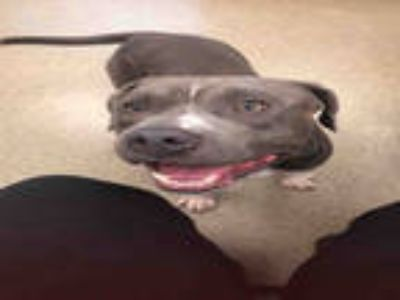 Adopt CAPO a Gray/Silver/Salt & Pepper - with White American Pit Bull Terrier /