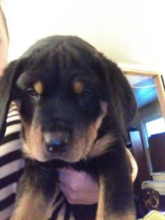 Rottweiler PUPPY FOR SALE ADN-109177 - Rottweiler puppies