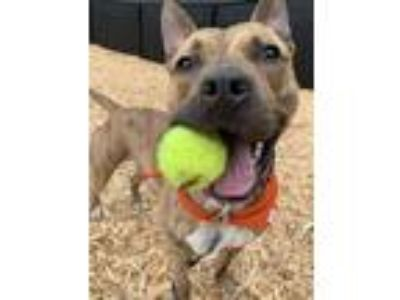 Adopt Tiger a Pit Bull Terrier / Mixed dog in Silverdale, WA (25488917)