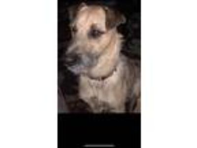 Adopt Isabelle a Tan/Yellow/Fawn Fox Terrier (Wirehaired) / Terrier (Unknown