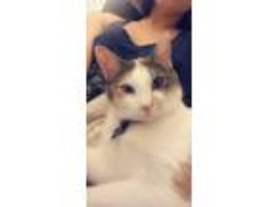 Adopt Potter a White (Mostly) American Shorthair cat in Saint Charles