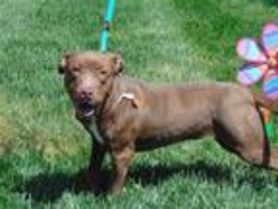Adopt BUTTERBEAN a Brown/Chocolate American Pit Bull Terrier / Mixed dog in