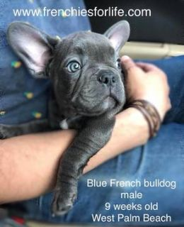 French Bulldog PUPPY FOR SALE ADN-78863 - Blue Boy