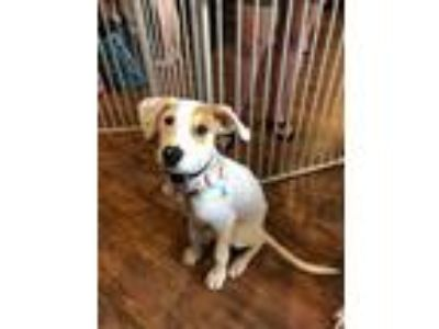 Adopt Frankie a White - with Tan, Yellow or Fawn Terrier (Unknown Type