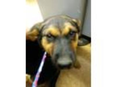 Adopt Brandy a Black German Shepherd Dog / Australian Shepherd / Mixed dog in
