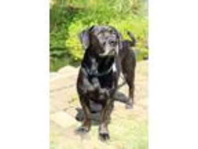 Adopt Rocky a Black Labrador Retriever / Basset Hound / Mixed dog in Mebane