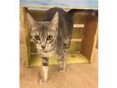 Adopt LILLY a Gray or Blue Domestic Shorthair / Domestic Shorthair / Mixed cat