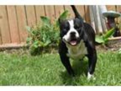 Adopt Popeye a Staffordshire Bull Terrier, Boston Terrier