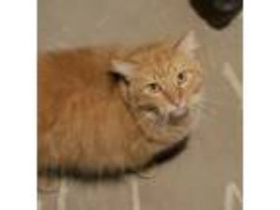 Adopt KixCP a Orange or Red Tabby Domestic Mediumhair (medium coat) cat in