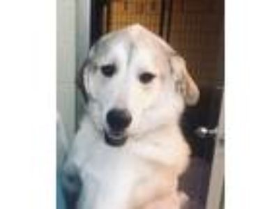 Adopt Oakley a Husky / Labrador Retriever / Mixed dog in Mankato, MN (25560610)