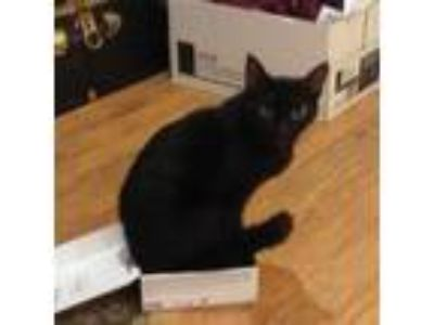 Adopt Lucy a All Black Domestic Shorthair cat in Hazel Green, AL (24526011)