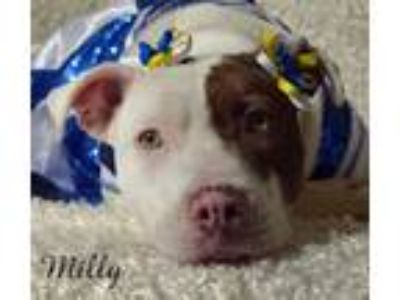 Adopt Milly a Pit Bull Terrier