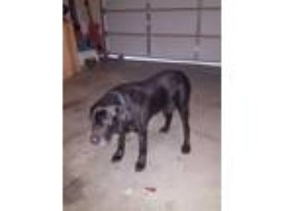 Adopt Spooky a Black Labrador Retriever / Mixed dog in Florence, KY (24339229)