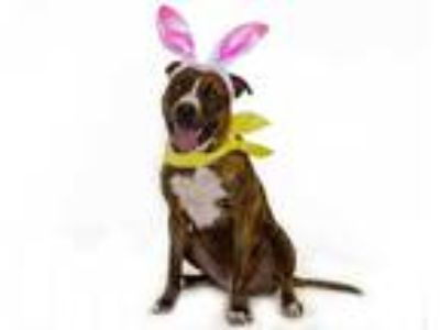Adopt PICKLES a Brindle - with White American Pit Bull Terrier / Mixed dog in