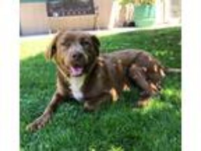 Adopt Cocoa a Brown/Chocolate - with White Retriever (Unknown Type) / Mixed dog