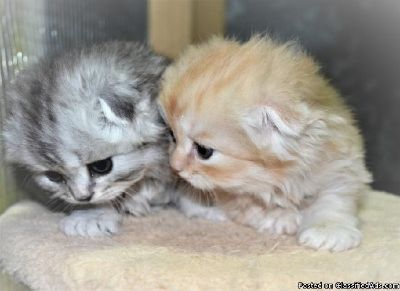 Accommodating M/F Scottish Fold Kittens Available,