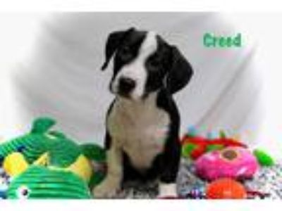 Adopt Creed a Black - with White Basset Hound / Mixed Breed (Medium) / Mixed dog