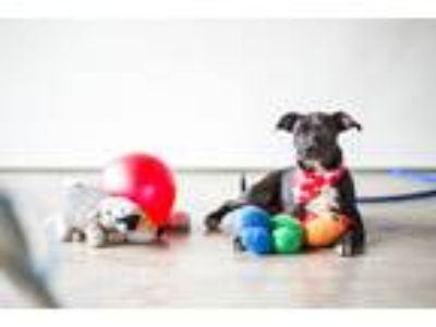 Adopt Carlota a Black - with White Labrador Retriever / Mixed dog in Seattle