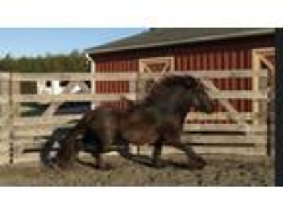 FIS Clear Licensed Fell Pony Stallion rare opportunity