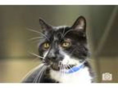Adopt Jinx a Domestic Medium Hair