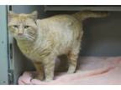 Adopt Josh a Domestic Short Hair