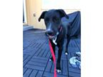 Adopt Sherman a Brindle - with White Labrador Retriever / Mixed dog in
