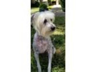 Adopt Riley a Chinese Crested Dog