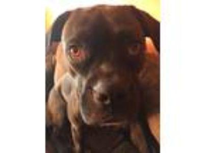 Adopt Minnie a Brown/Chocolate - with Black Boxer / Labrador Retriever / Mixed