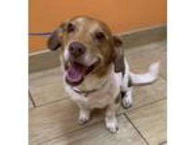 Adopt Clint a Beagle / Basset Hound / Mixed dog in Tampa, FL (25537779)