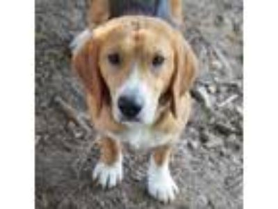 Adopt Everett a Brown/Chocolate Beagle dog in Atlanta, GA (25313148)