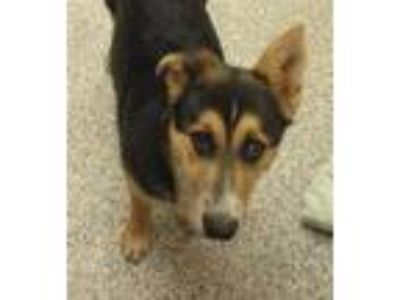 Adopt Reuger a German Shepherd Dog / Mixed dog in Golden, CO (25302151)