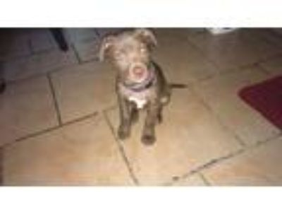 Adopt Cujo a Brown/Chocolate - with White American Pit Bull Terrier dog in