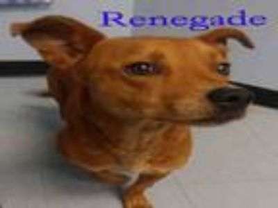 Adopt RENEGADE a Pit Bull Terrier, Mixed Breed