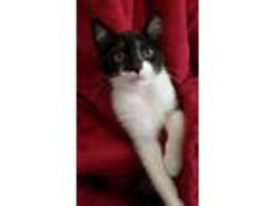 Adopt Kennedy a Domestic Shorthair / Mixed cat in Vallejo, CA (25180194)