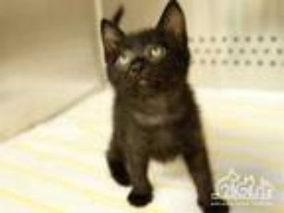 Adopt JESSIE a All Black Domestic Shorthair / Mixed (short coat) cat in Irvine