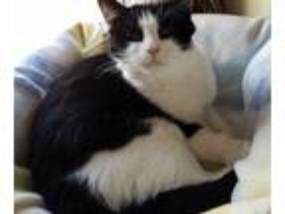 Adopt ROXIE a American Shorthair, Tuxedo