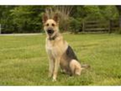 Adopt DRAKE a German Shepherd Dog / Mixed dog in Spring Valley, NY (25272699)