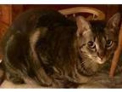 Adopt Breezy a Bengal, Domestic Short Hair