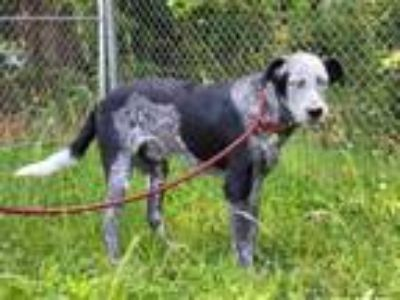 Adopt HAPPY HUEY a Australian Cattle Dog / Mixed dog in Spring Valley