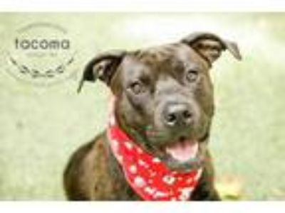 Adopt Tacoma a Black American Pit Bull Terrier / Mixed dog in Kansas City