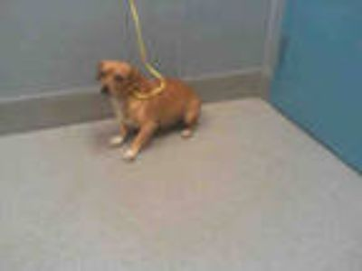 Adopt *KING a Tan/Yellow/Fawn - with White Dachshund / Mixed dog in Las Vegas