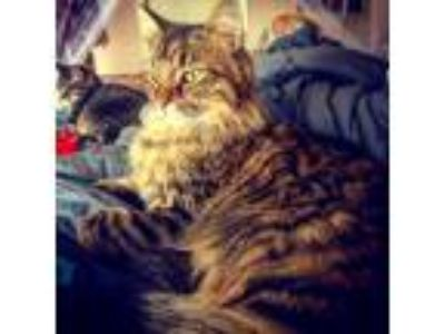 Adopt Jack a Spotted Tabby/Leopard Spotted Maine Coon cat in Carmel