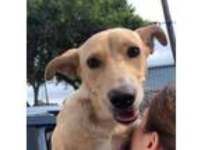 Adopt Billie Jean a Labrador Retriever