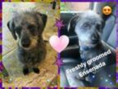 Adopt ZZ-Ensenada-Courtesy Post*** a Terrier, Dachshund