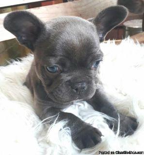 FCI french Pedigree,french bulldog choco male Breeder. Sweet and playful