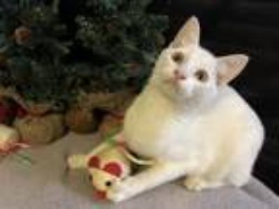 Adopt Frosty a White Domestic Shorthair / Mixed (short coat) cat in