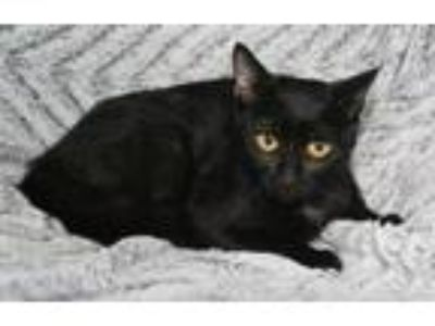 Adopt Maleigha a All Black Domestic Shorthair / Mixed (short coat) cat in